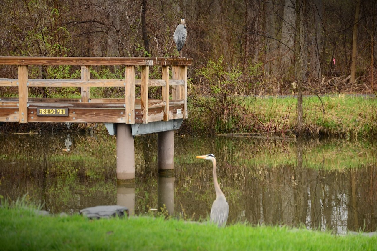 Trio of Great Blue Heron (photo)